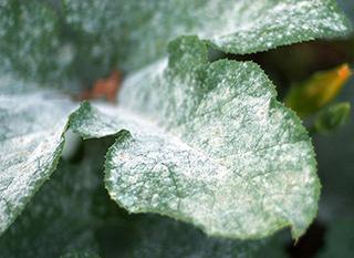 Soigner l'oïdum sans pesticide
