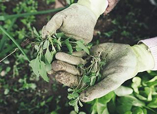 Enlever les mauvaises herbes au fur et à mesure par sarclage