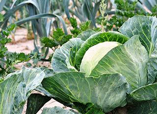 Varier les plantations au potager pour résister aux maladies et insectes