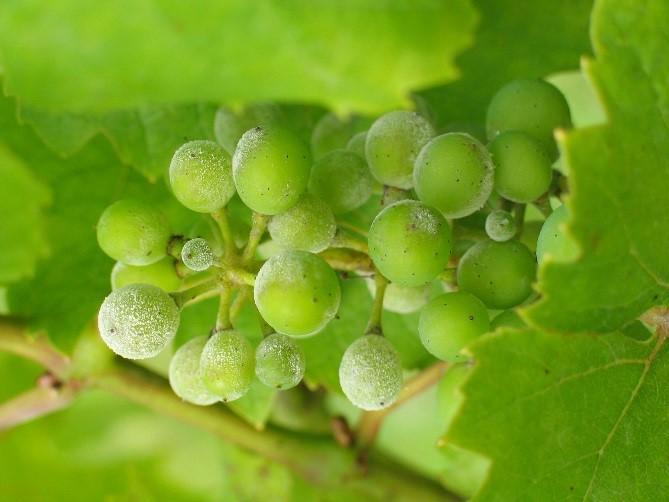 Oïdum sur raisin