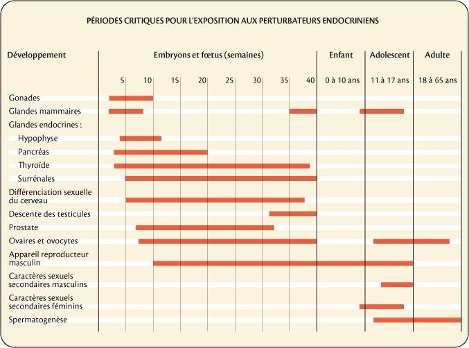 Perturbateurs endocriniens : périodes de risque accru au cours de la vie