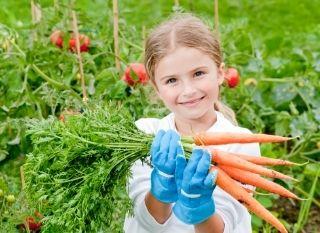 Récolte des légumes du potager