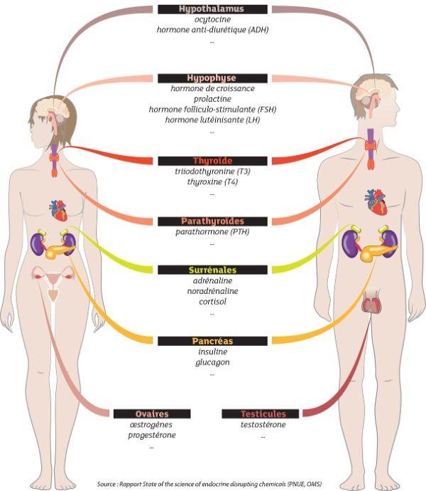Fonctionnement des hormones