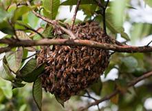 Que faire si un essaim d'abeilles s'installe au jardin? Photo: Romain DECKER sur flickr - https://www.flickr.com/photos/woueb/6789081269