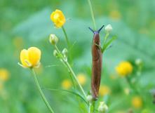Astuces naturelles pour lutter contre les limaces