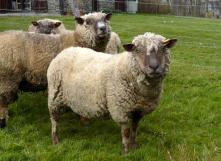 La laine, chaudement recommandée