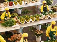 Production de fleurs équitables. Photo : Fairtradebelgium.be