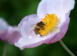 L'abeille, sentinelle de la biodiversité