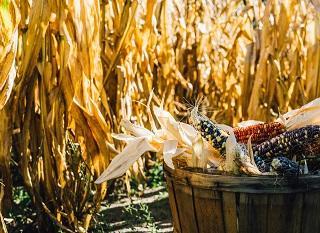 [ceci n'est pas un OGM] Il existe une multitude de variétés traditionnelles de maïs